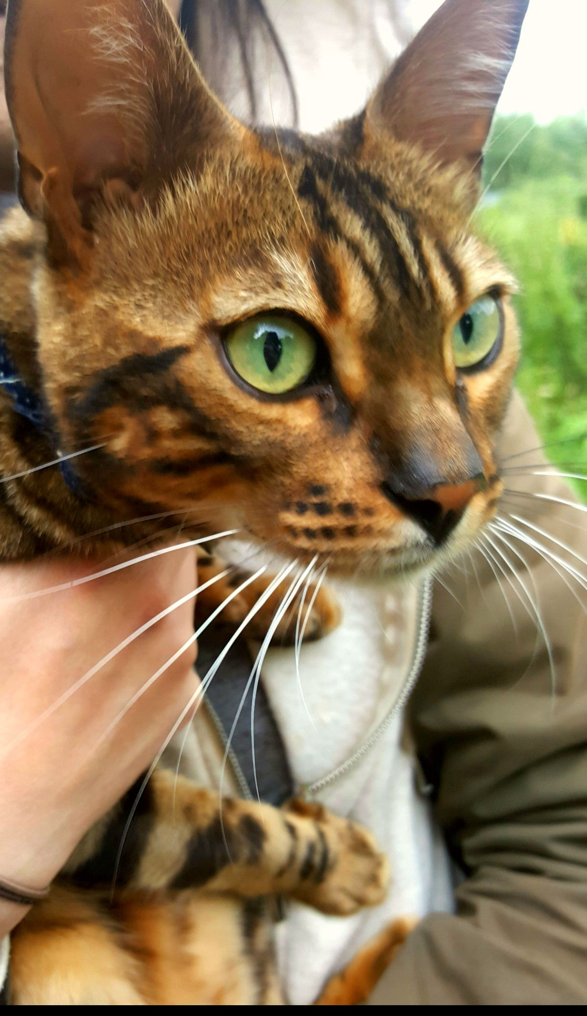 Bengal Cat came to say hello to us on our walk. bengalcat