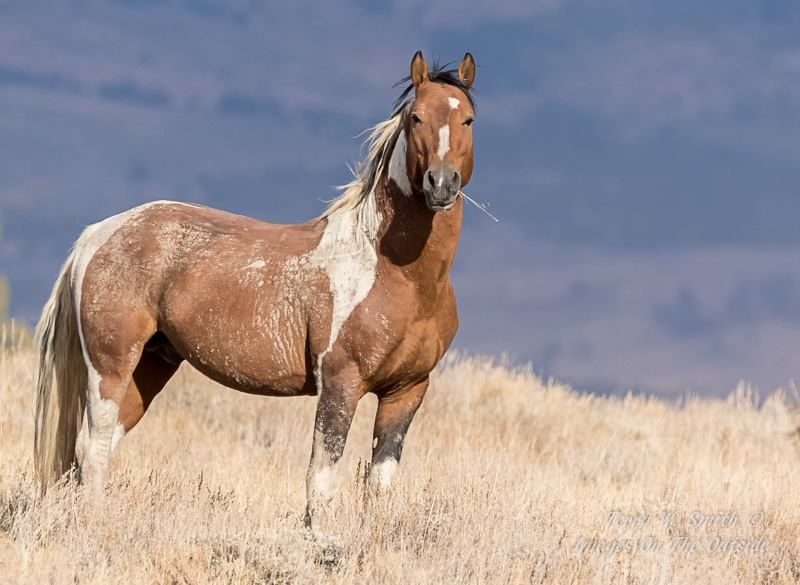 wild pinto stallion