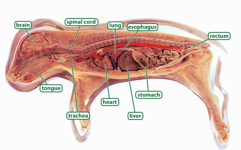 Fetal Pig Anatomy Brian Mccauley Pig Anatomy Anatomy Fetal