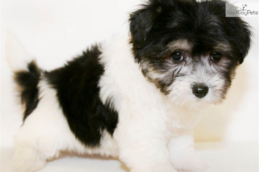 Meet Paris A Cute Havanese Puppy For Sale For 450 Paris Our Female Havanese With Images Havanese Puppies For Sale Havanese Havanese Dogs