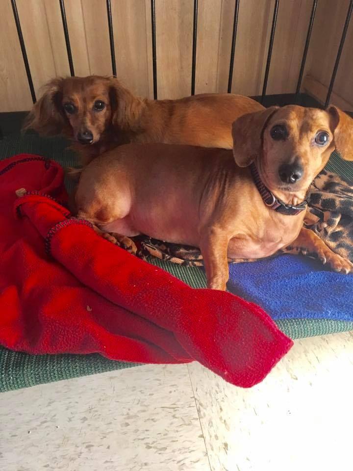 Dachshund Dog For Adoption In York Sc Adn 550122 On Puppyfinder