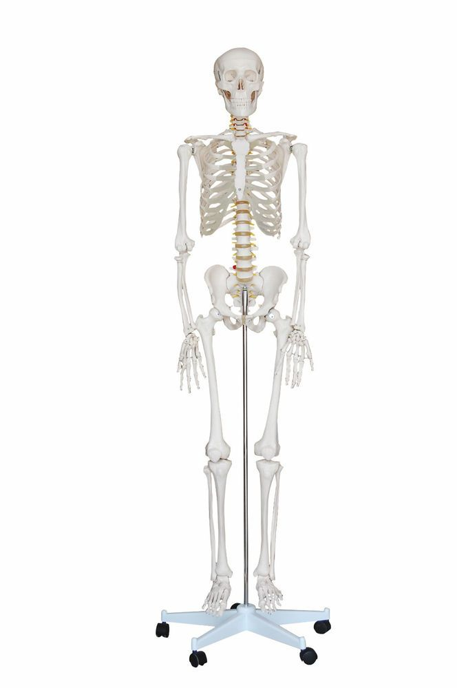New life size human anatomical anatomy skeleton medical model +stand ...