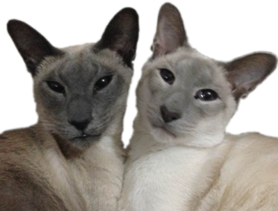Blue Point Siamese Cats Siamese cats for sale
