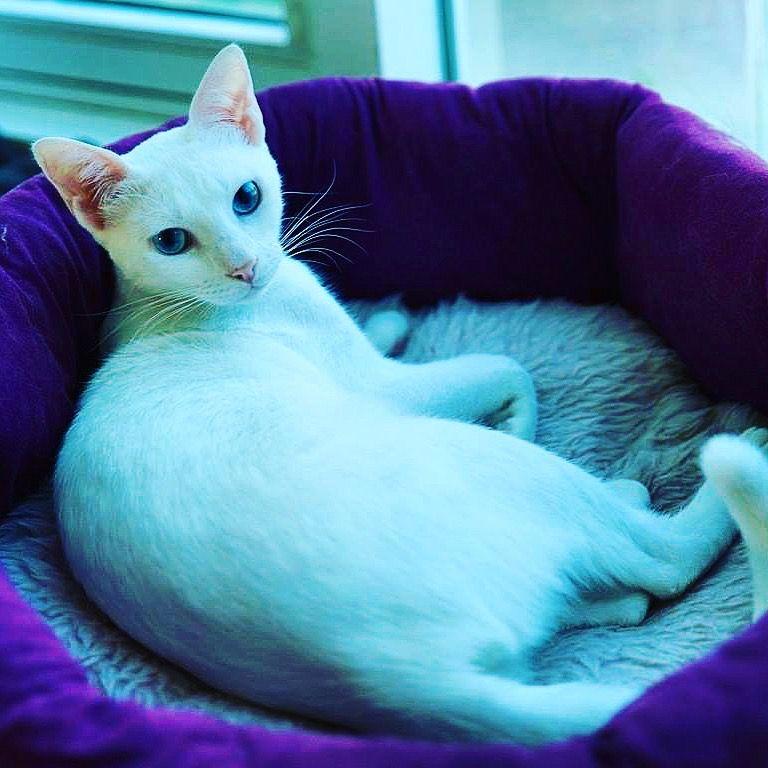 Maya Almaya The Beautiful Arabian Mau Animals World Cat Domestic Cat