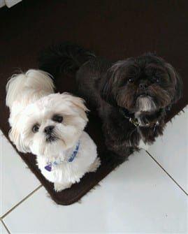 Looks Like My Babies Shih Tzu Shih Tzu Puppy Shih Tzu Dog