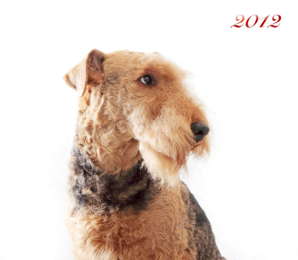 8 Dog Groups | Airedale terrier puppies, Dog breeds