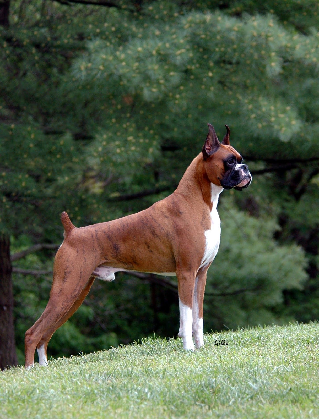 Occiput Dog Breeds