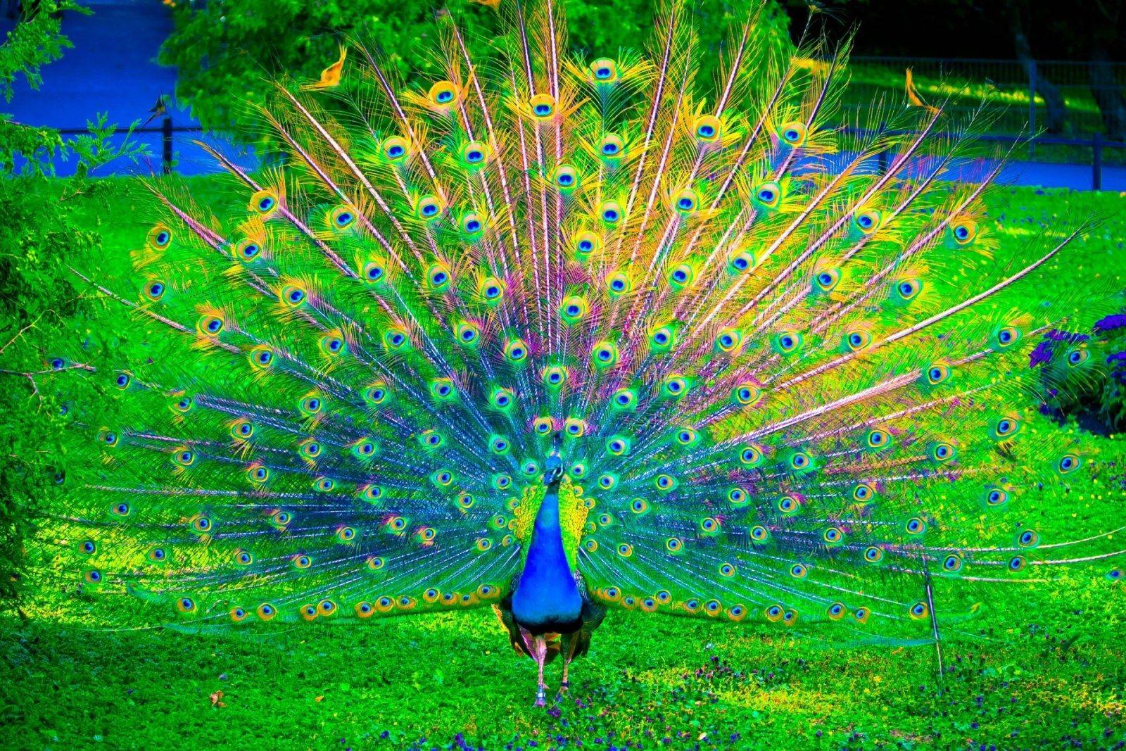 Beautiful Peacocks Beautiful peacock dancing Peacock