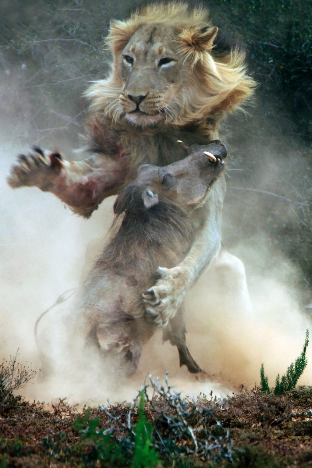 The Week In Wildlife In Pictures Wrong Turn Lions And South - Photographer captures angry lion before attack