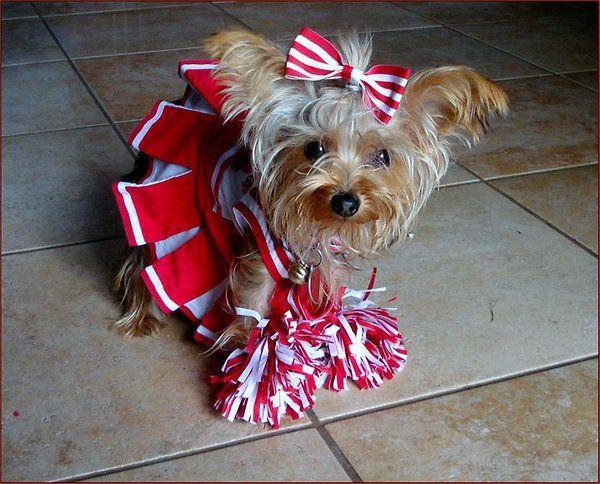 Cheerleader Yorkie Dog Halloween Costumes Yorkie Yorkie Moms