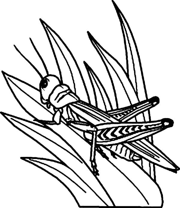 Grasshopper Watching Predator From Grass Coloring Page