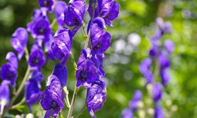 How To Grow And Care For Your Monkshood Plant Plants Plants That Love Shade Poisonous Plants