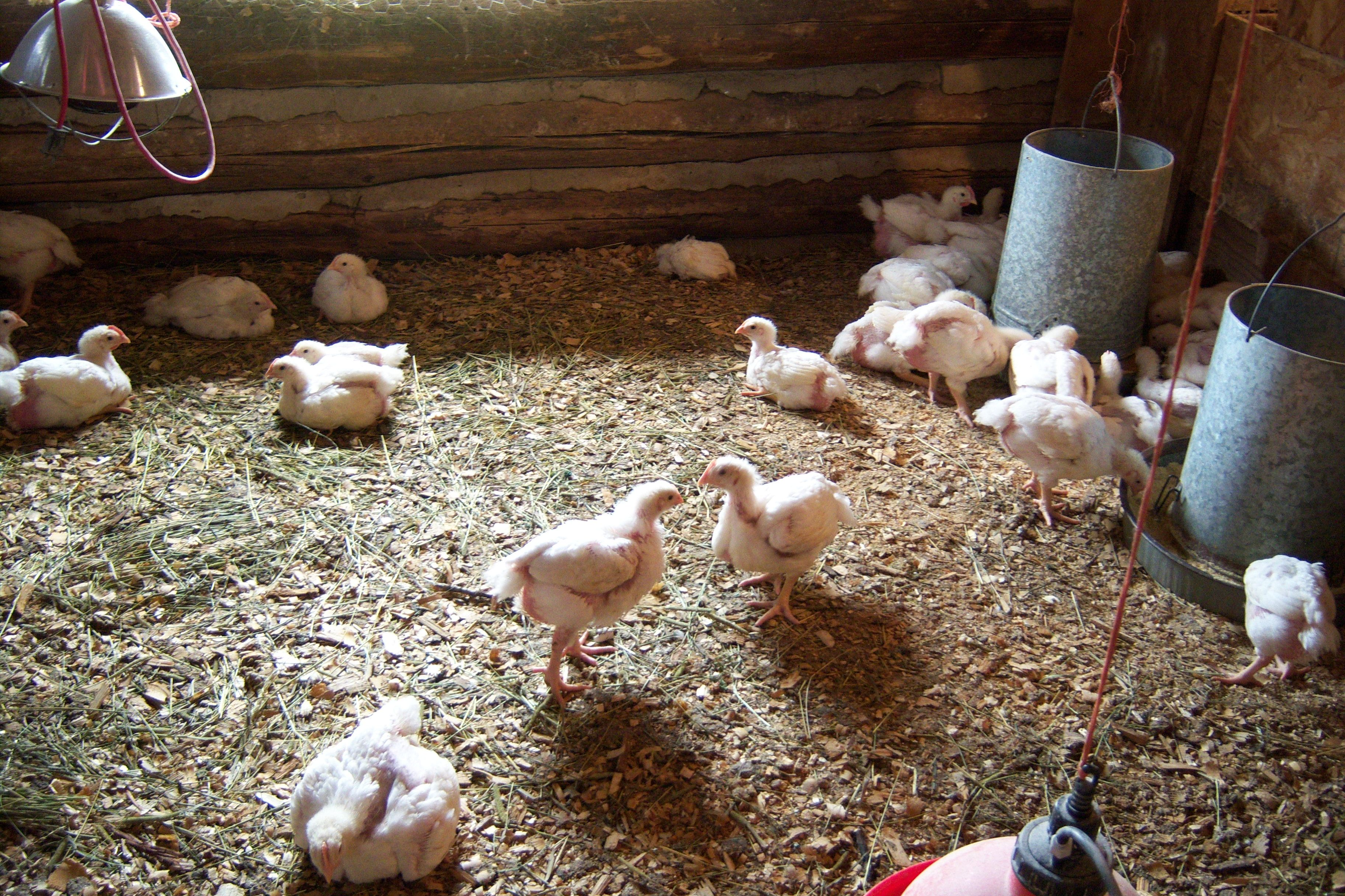 Find out where to get information about everything you need to know to raise chickens on a small to medium scale, and learn about poultry processing options too.     1) Introduction; 2) Where to go for Information; 3) Books and Articles; 4) Information on small scale poultry processing 1) Raising chickens is becoming more and more popular with small farmers, urban farmers, homesteaders, others. Many people are realizing that the difference between pasture raised chicken meat and eggs, and…