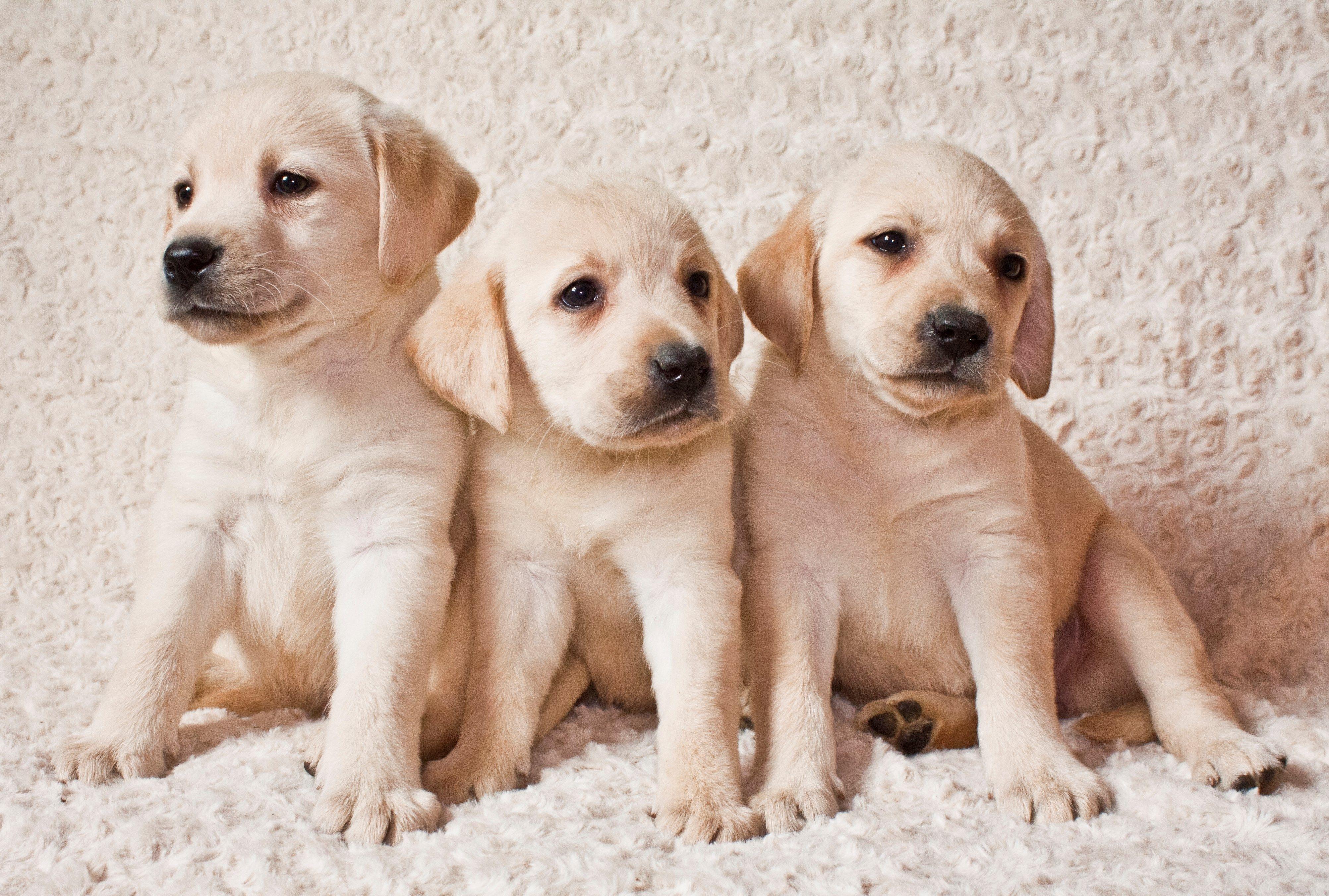 Labrador Retriever Desktop 4010x2705 Labrador Puppy Labrador Retriever Puppies