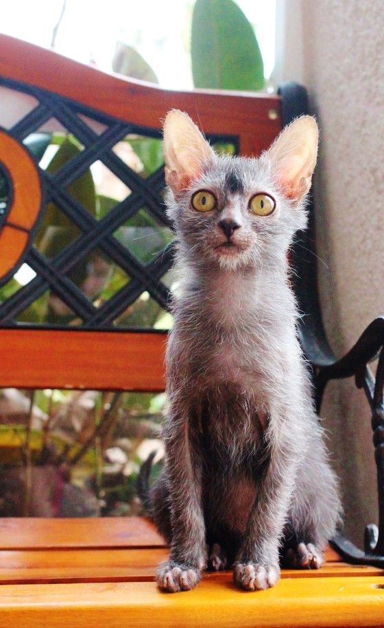 Lykoi Kitten For Sale Werewolf Cats Wolf Cats Natural Mutation Lykoi Kittens For Sale Werewolf Cat Lykoi Cat Kitten For Sale