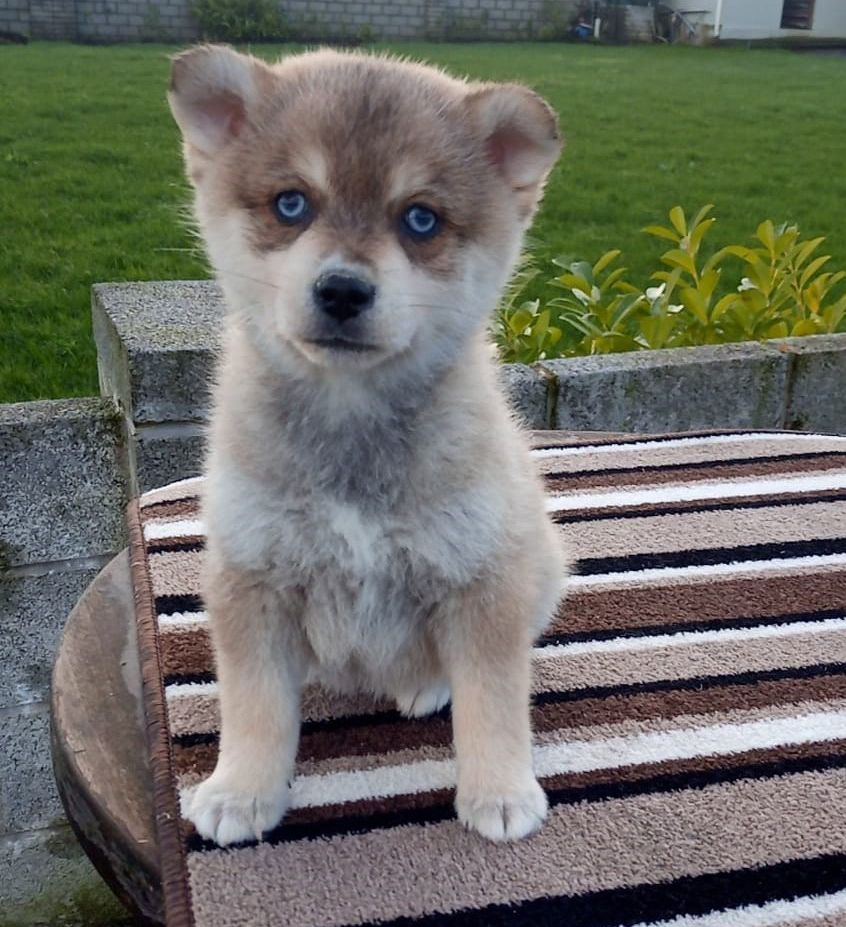 F2 Pomsky For Sale Pomsky Puppies Pomsky Puppies