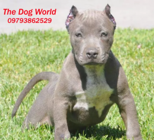 American Pitbull Muscular For Sale Pune Anand Nagar Mumbai Indie Pups Given For Adoption Sold Illegally As In 2020 American Pitbull Terrier Pitbull Terrier Pitbulls