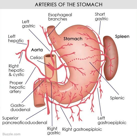 Arterial supply of the stomach. | Medical stuff | Pinterest | Medical