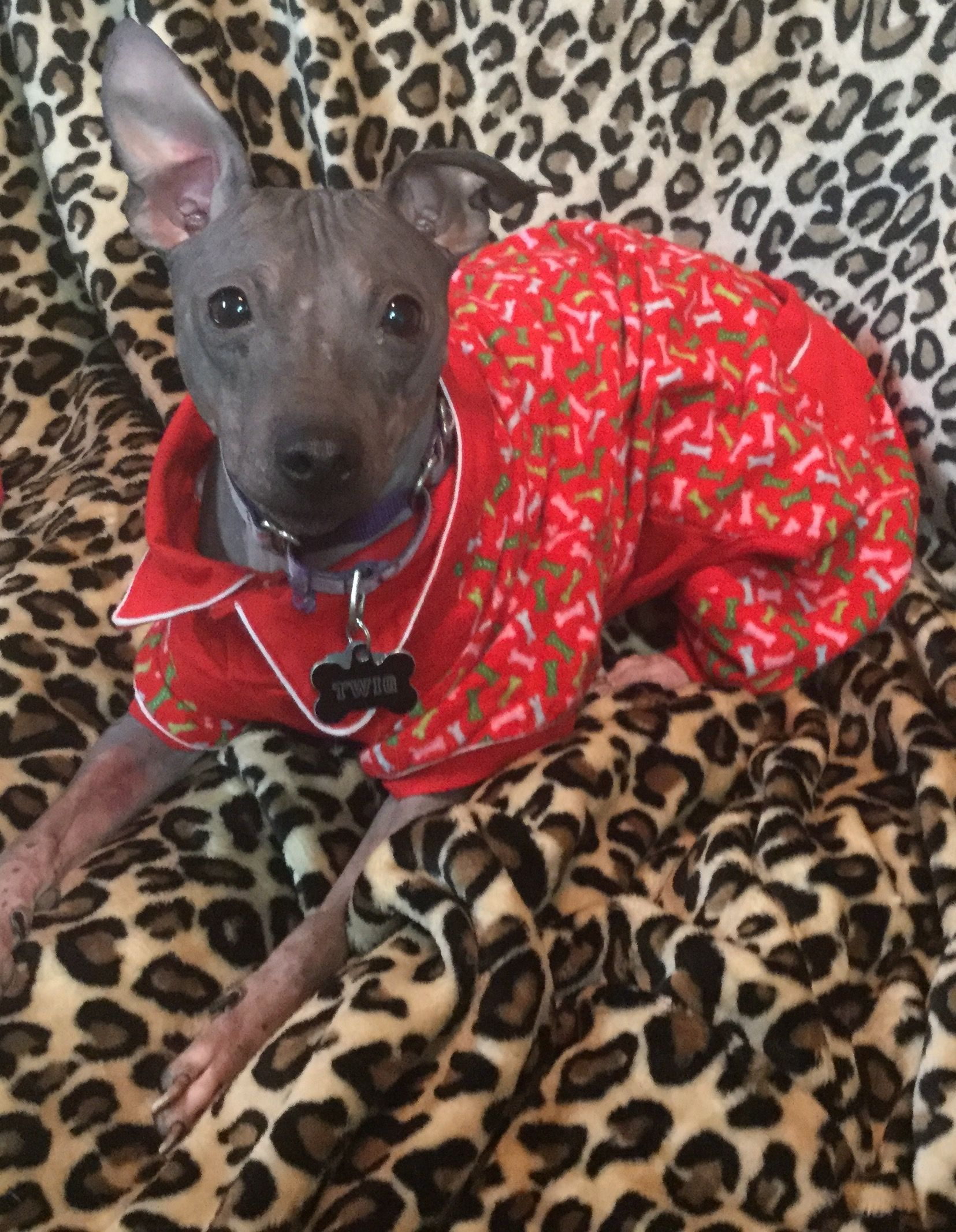 American Hairless Terrier Dog For Adoption In Greenville Sc Adn
