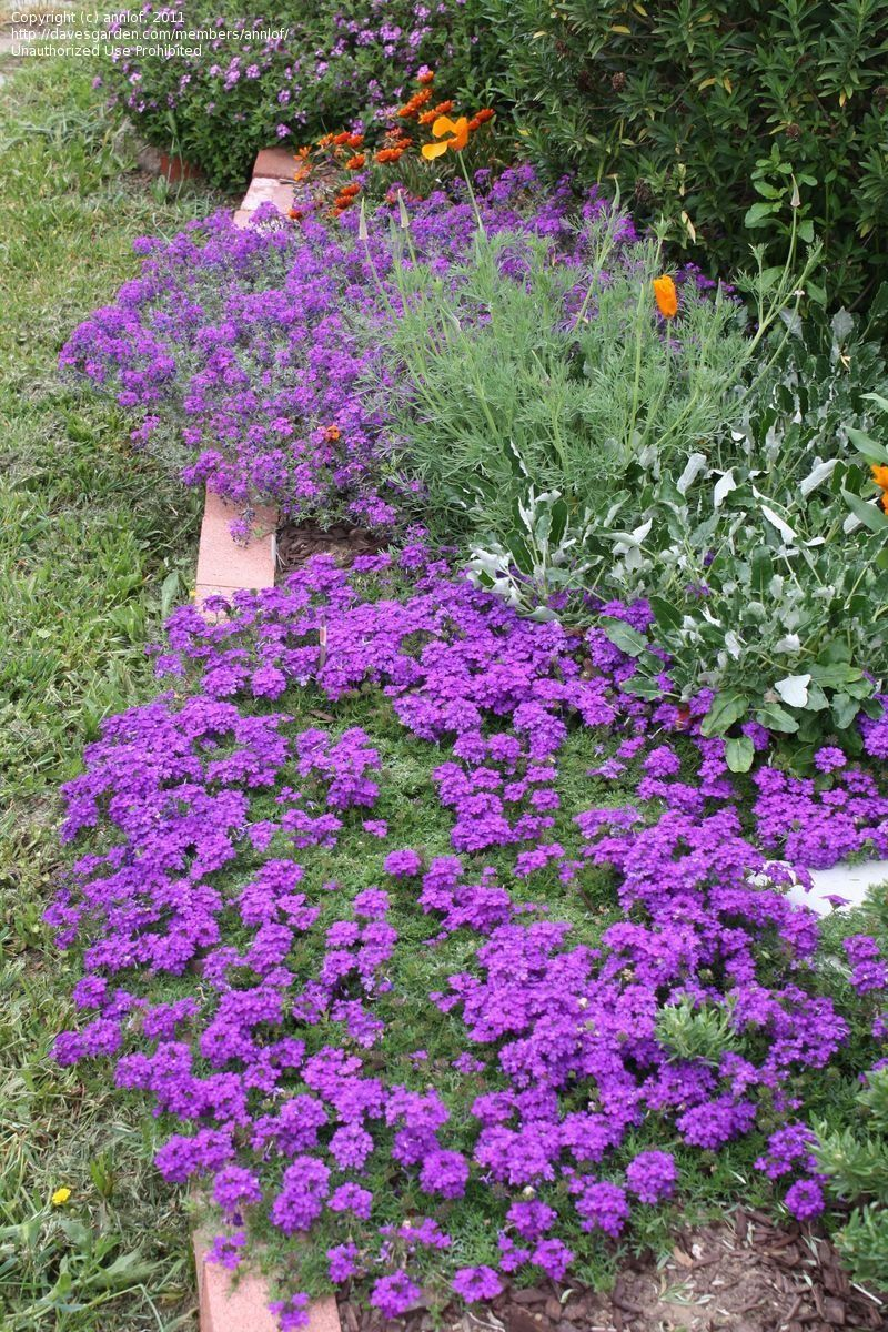 """Florida Ground Cover Full Sun: Tapien Blue-violet In Foreground; Verbena """"Imagination"""" In"""