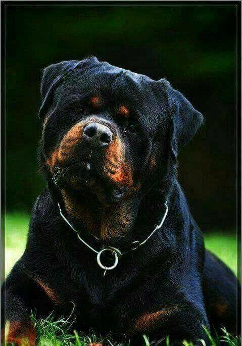 Rottweiler Dog Rottweiler Wallpaper Rottweiler Puppy Rottweiler