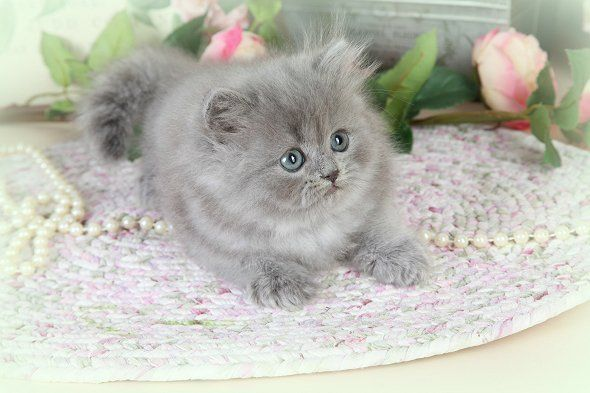 Blue Persian Kittens Blue White Persian Kittens Grey Kittens Gray Kittens Persian Kittens For S Persian Kittens Teacup Persian Kittens Cute Cats And Dogs