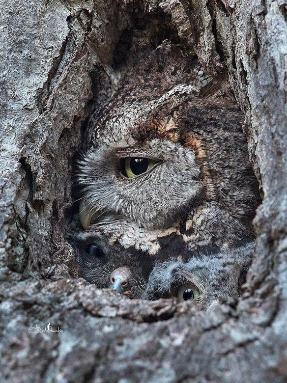 Eastern screech owls Cute cat gif, Eastern screech owl