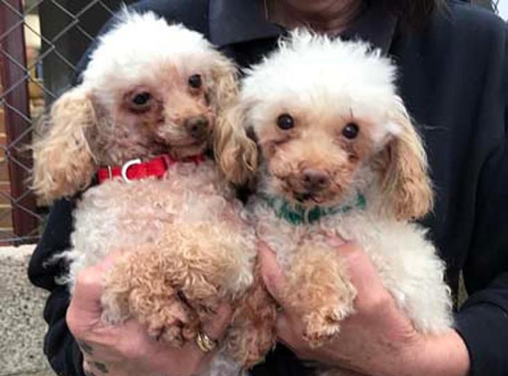 Pin By Rescue Pets On Dogs Poodles In Rescue Puppy Pads Pets