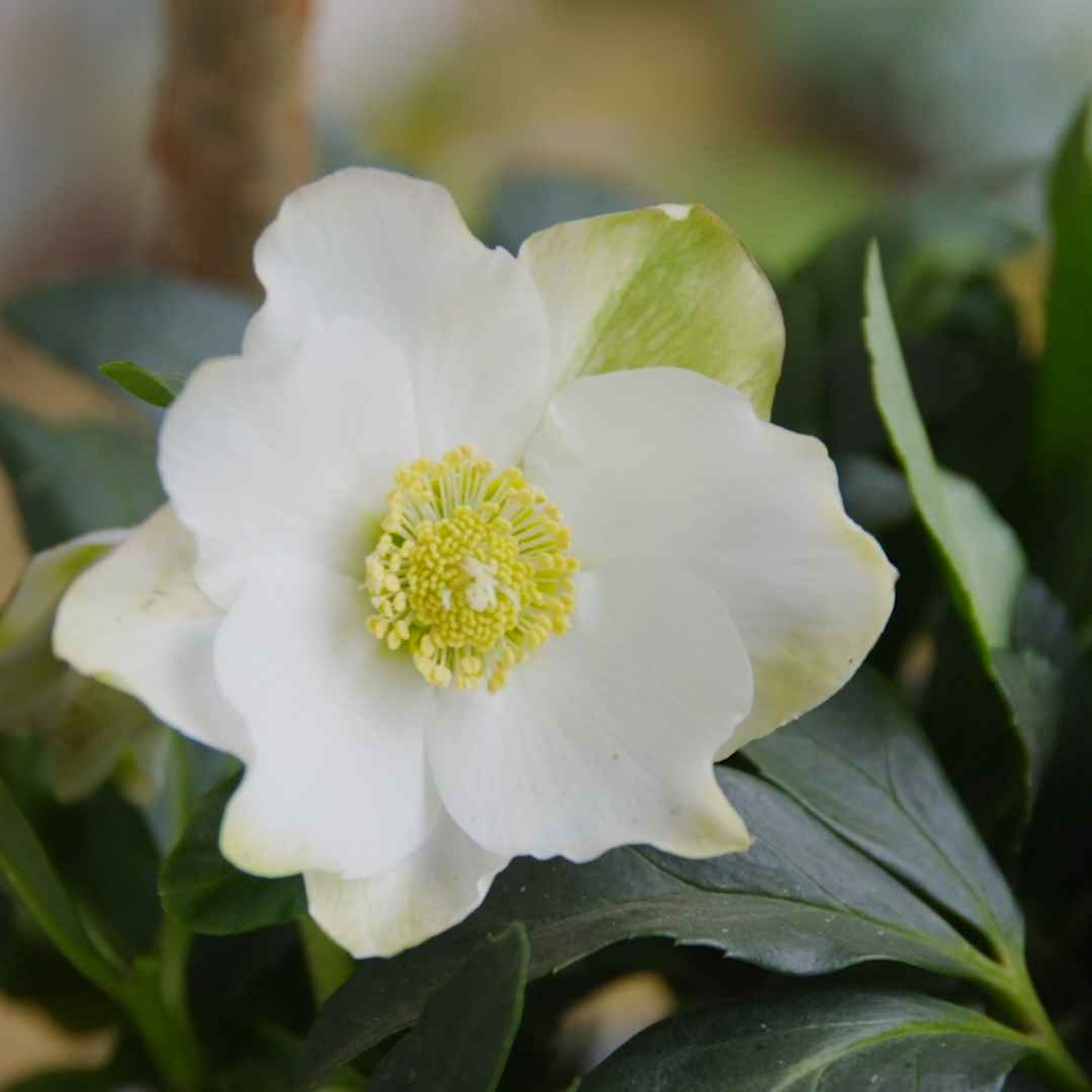 3 decorating tips with Christmas roses   Our master florist Anke gives you three suggestions on how to put the Winter Sun Chri