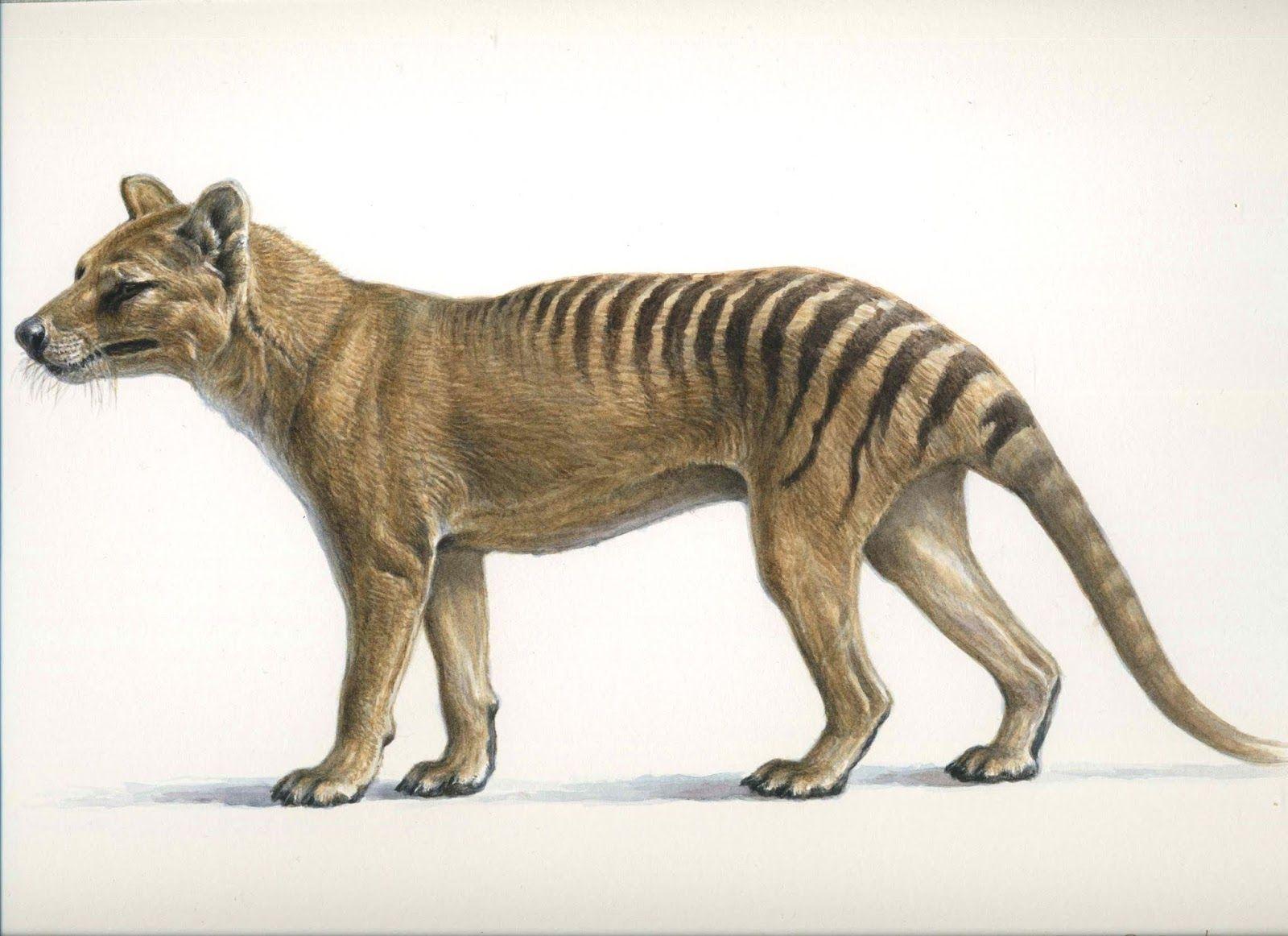 Thylacine Or Tasmanian Tiger The Adventure Of A Study In 2020 Thylacine Tasmanian Tiger Nearly Extinct Animals