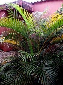 Arecas Com Imagens Palmeira Areca Palmeira