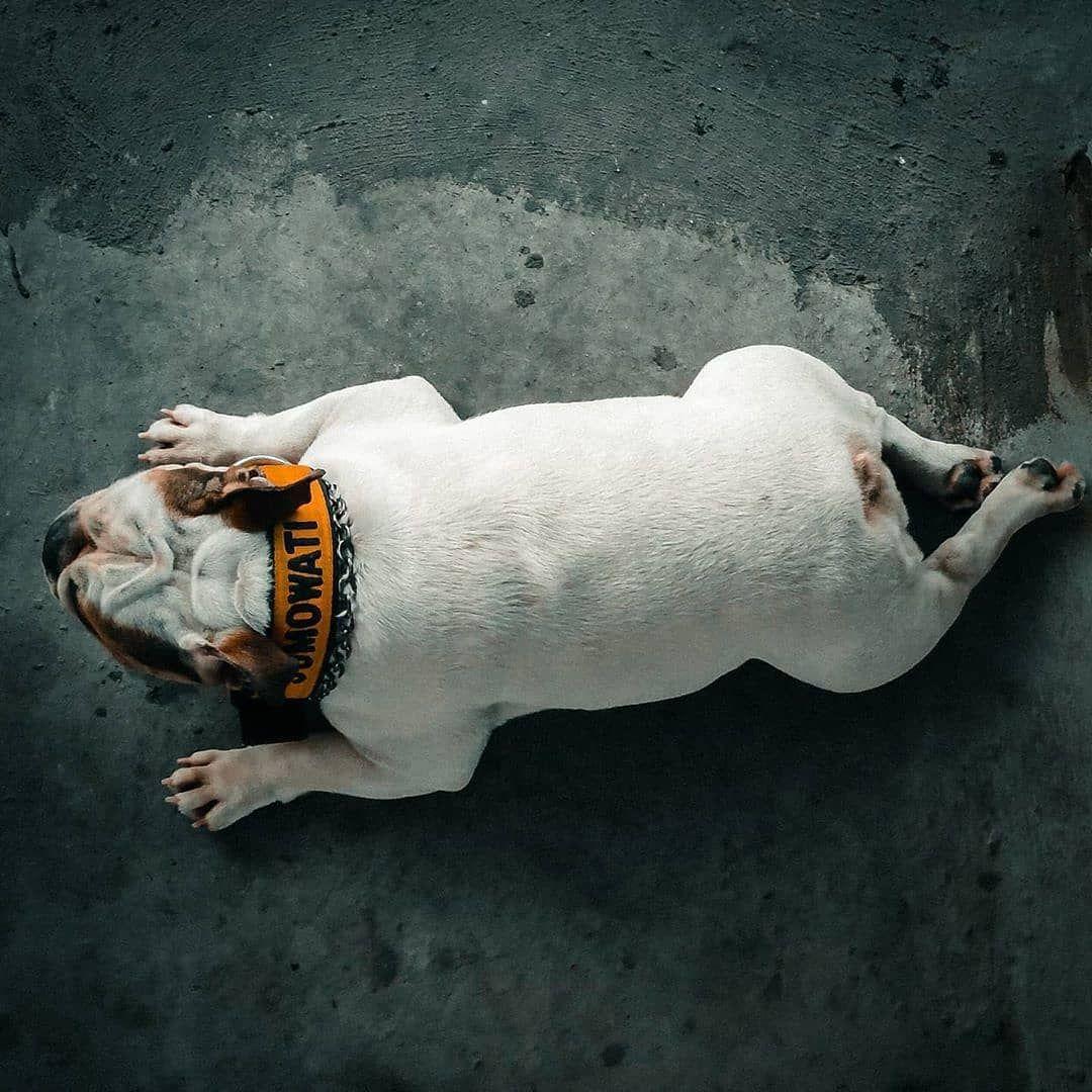 English Bulldog @sumo.the.english.bulldog #puppy#dogoftheday #pet