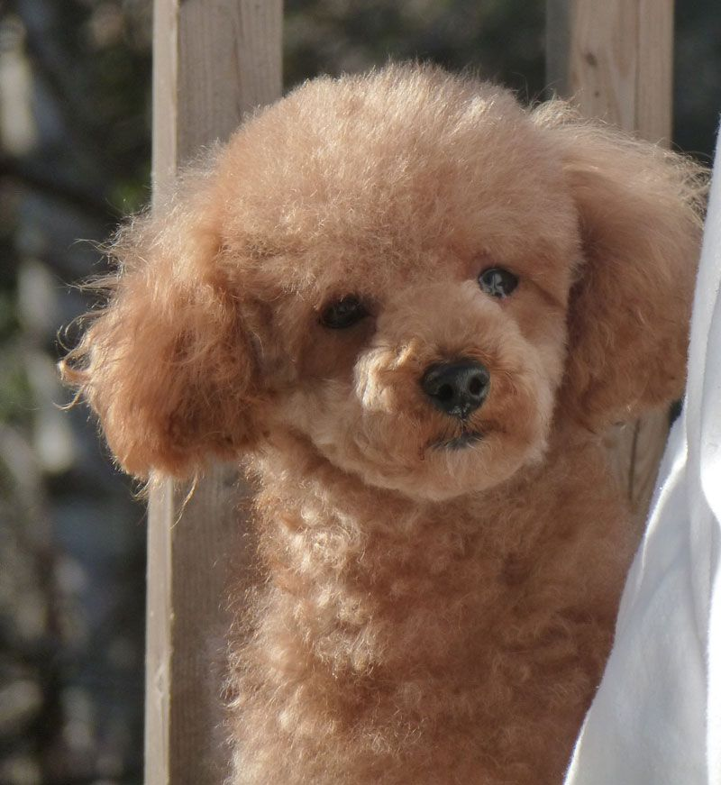 Tiny Toy Poodle Breeder From Lachicpatte Com Cats Dogs