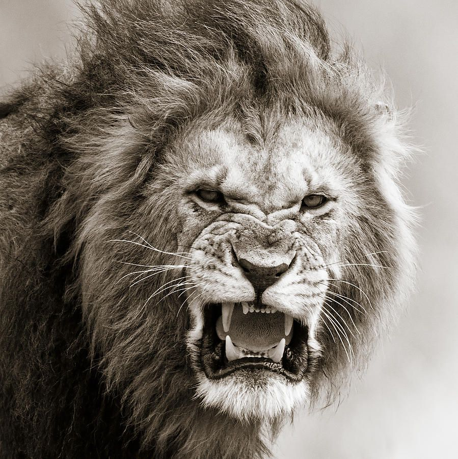 how to draw a male lion roaring