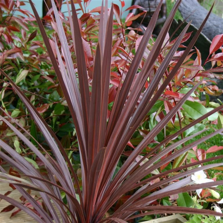Cordyline Australis Red Star Rare Flowers Part Shade Plants Ornamental Plants