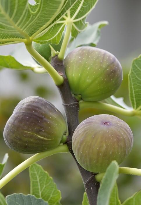 Les 12 bienfaits des feuilles du figuier   Figuier, Planter un figuier et Jardinage