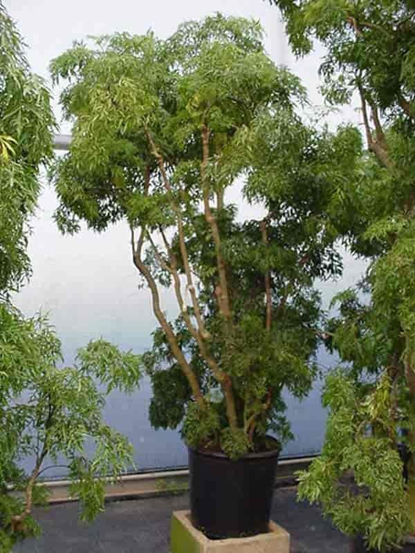 Aralia Plant Care Learn Tips On Growing Polyscias Plants Plants