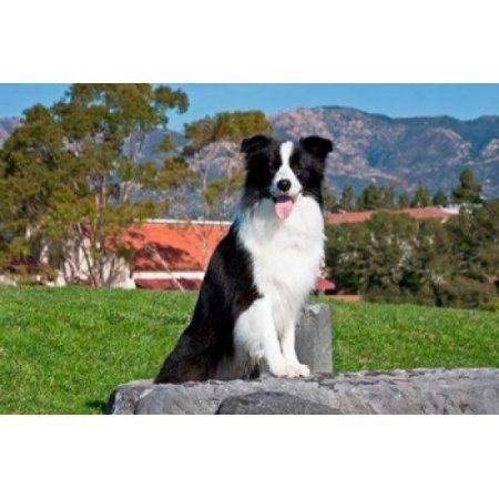 A Border Collie dog sitting Canvas Art - Zandria Muench Beraldo DanitaDelimont (36 x 24)
