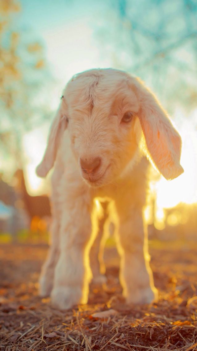 Baby Lamb At Sunrise IOS8 HD Wallpaper For IPhone And IPod Touch