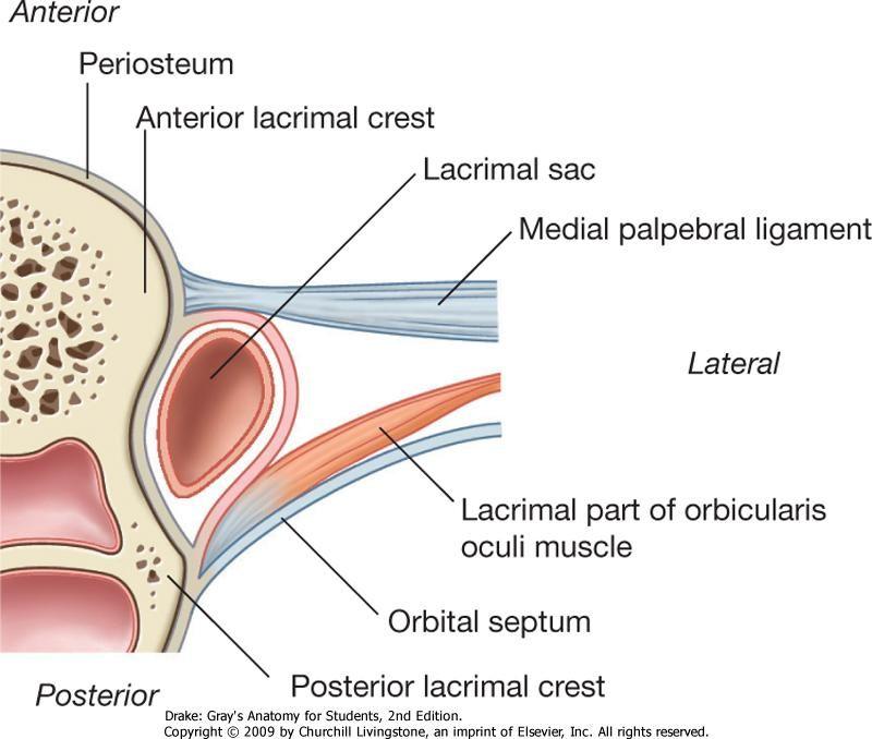 Attractive Lacrimal Sac Anatomy Pattern Human Anatomy Images