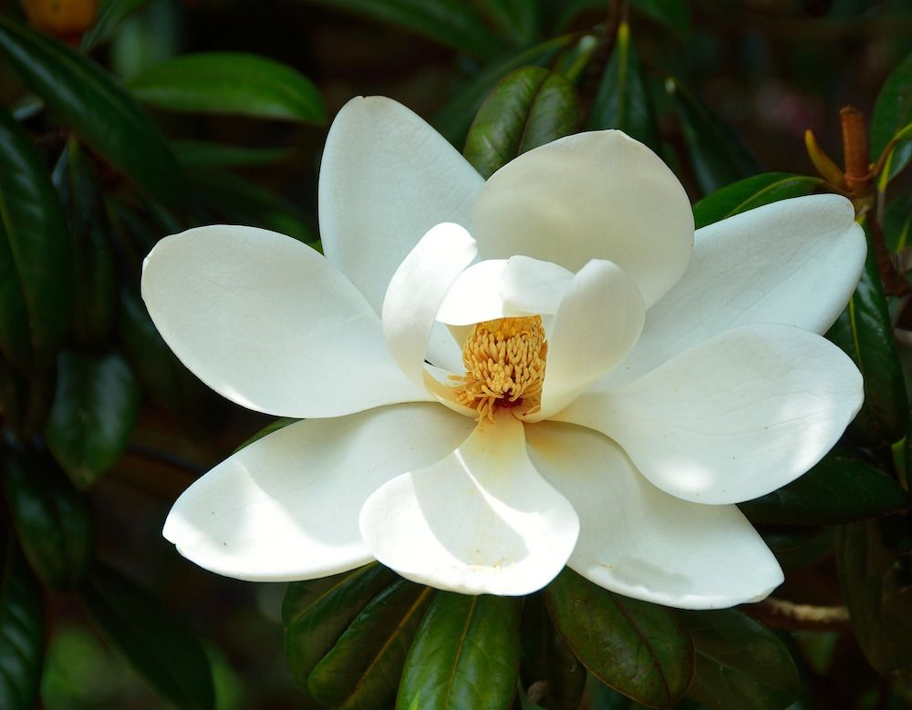 White Magnolia You Are Divine Flowers Magnolia Magnolia