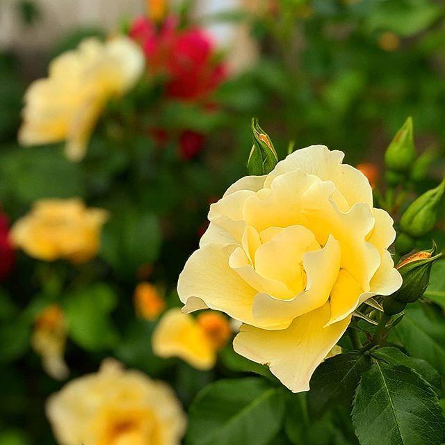 小出し薔薇写真 #石田ローズガーデン #rose #花写真#flower #flow…
