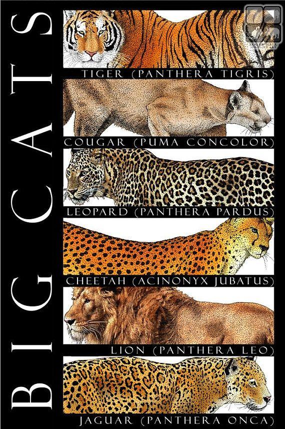 Big Cats of the World Cat posters, Big cat species, Big cats