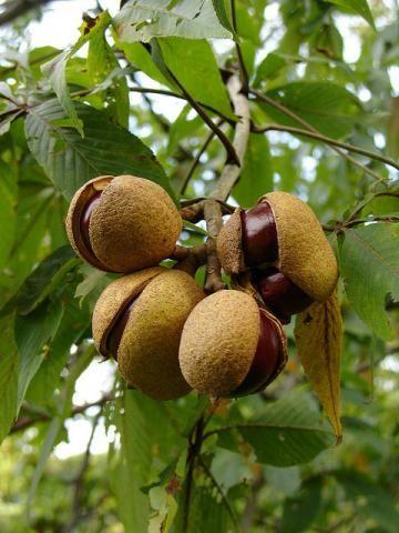 ohio buckeye tree ohio buckeye aesculus glabra was designated the