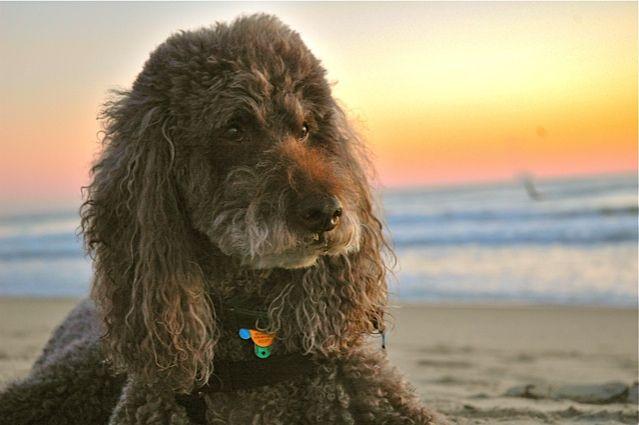 Murphy Standard Poodle Poodle Pet Dogs