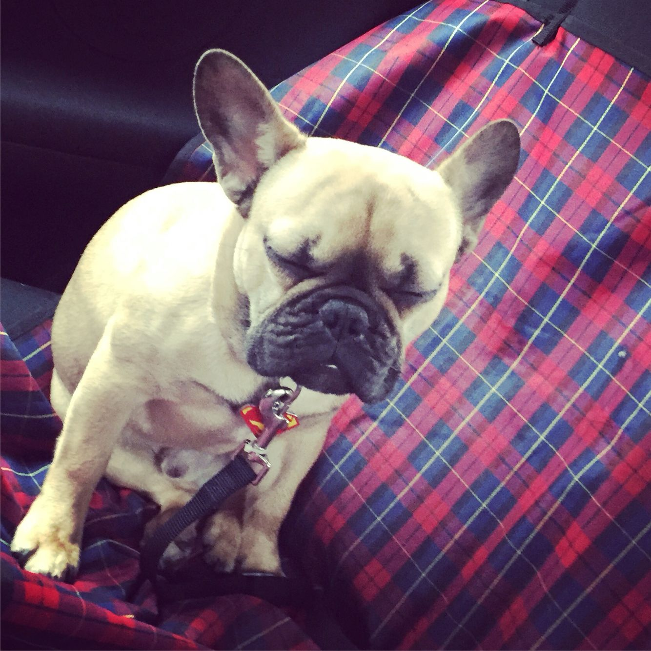 French Bulldog Falling Asleep While Sitting Up Bulldog How To
