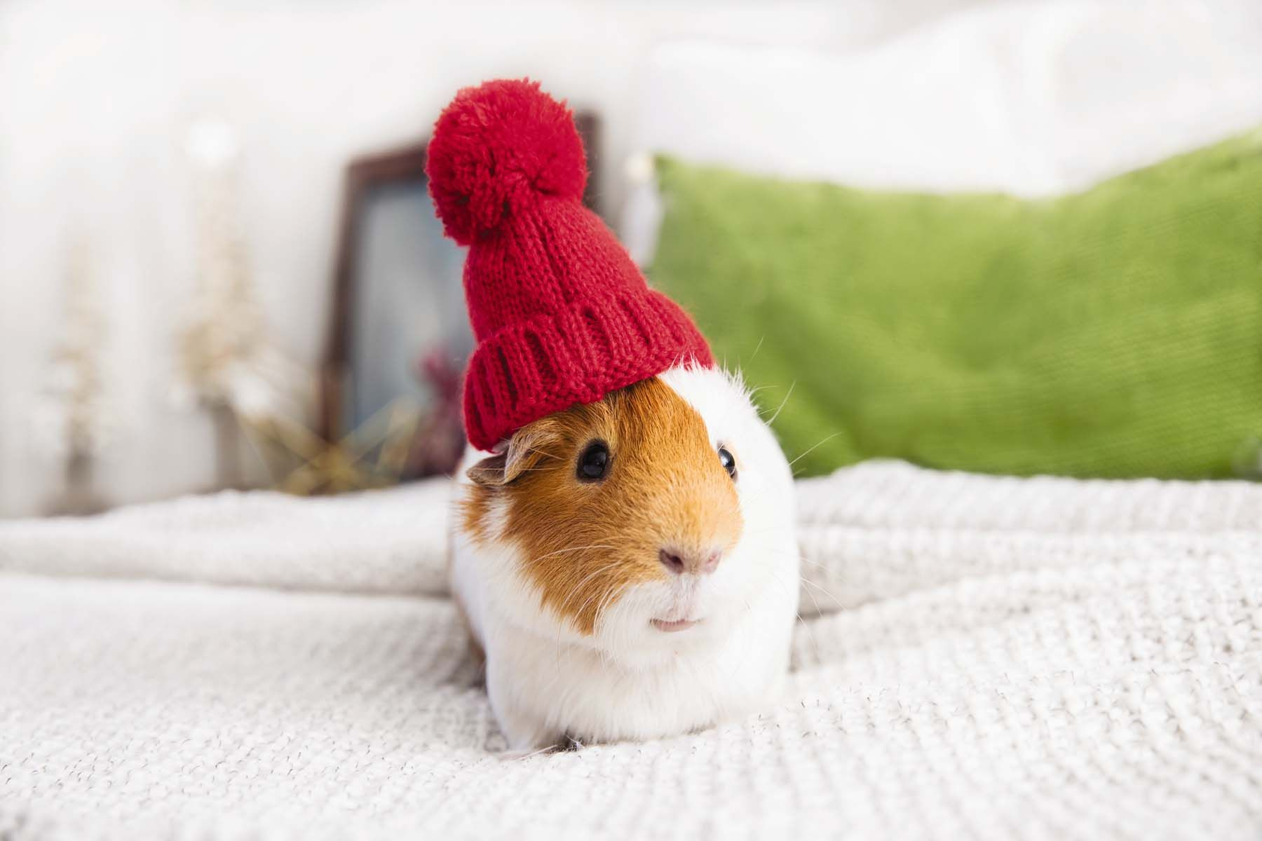 This guinea pigus in on the holiday cheer guinea pigs pinterest