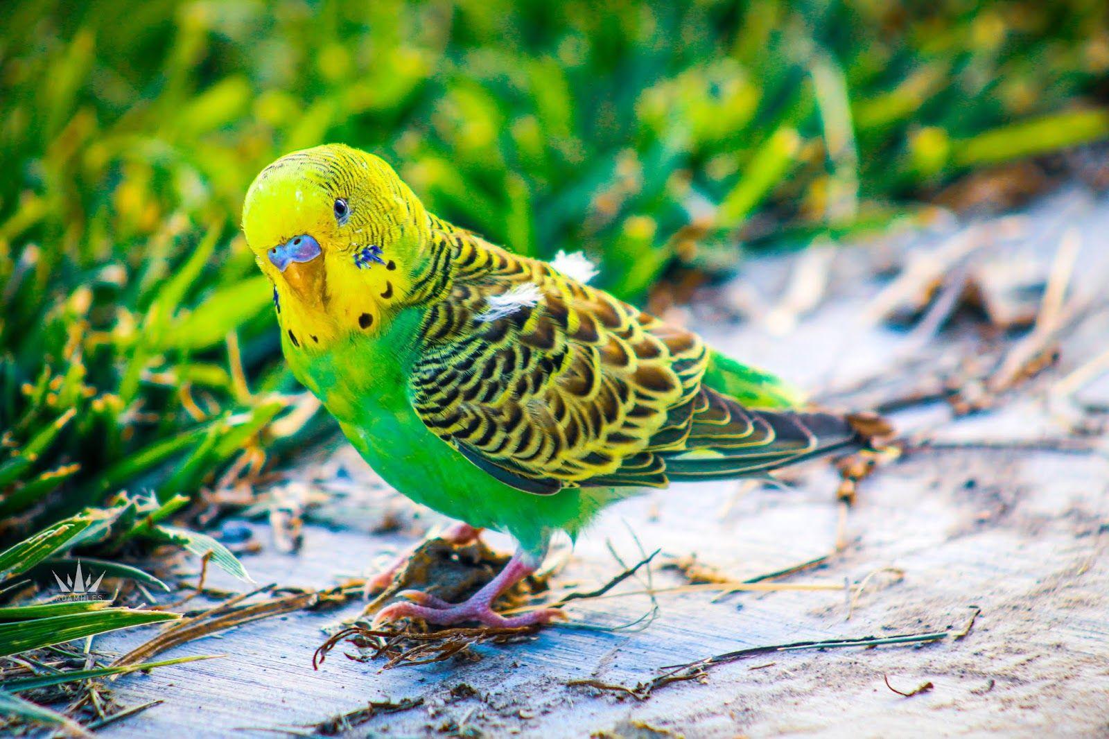 تصوير طائر الببغاء الصغير جميل جدا Parrot Parakeet Photoshop Design