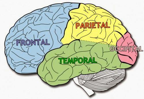 Lobulos Del Cerebro Buscar Con Google Lóbulos Cerebrales Lobulos Del Cerebro Cerebro