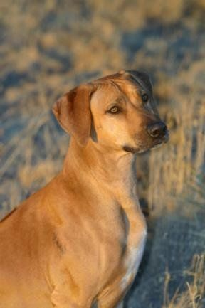 Best Dog Ever Not For The Faint Of Heart Rhodesian Ridgeback From Koda Ridgebacks Rhodesian Ridgeback Lion Dog Dogs